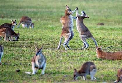 دشت کانگوروها