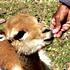 نوزاد غزال
