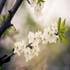 شکوفه هاي بهاري