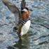 جوجه اردک زيبا